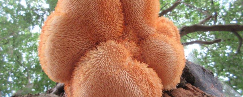 Oranjeroze verkleuring van onbeschutte Pruikzwam