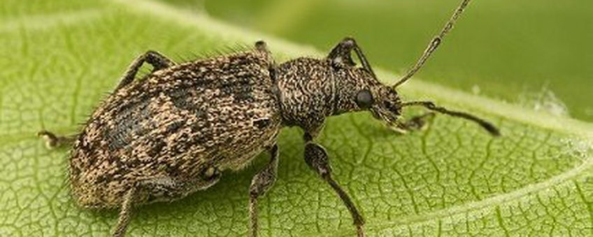 Phyllobius pilicornis