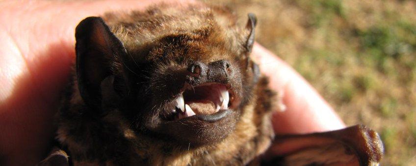 Lasiurus cinereus semotus, Hoary bat