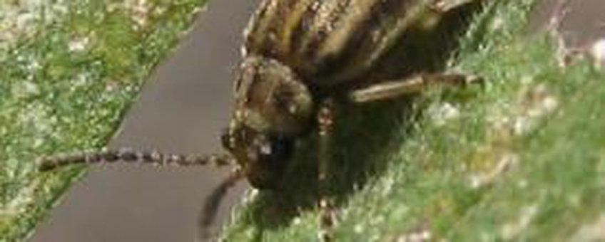 De Ophraella communa kever op een Ambrosiablad (foto P.Toth)