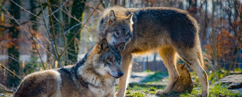 wolves, wolf