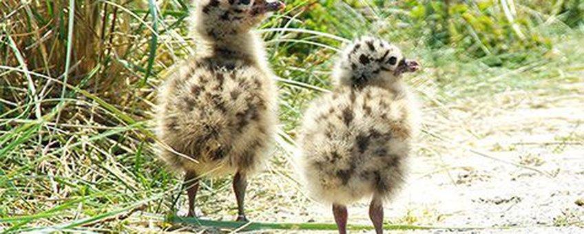 De eerste kuikens zijn gezien in het Duinpark