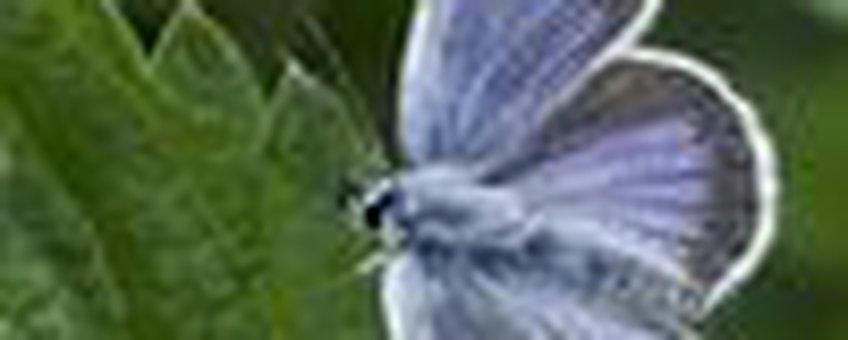 heideblauwtje klein