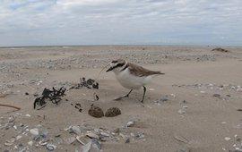 Een strandplevier loopt op het strand van Ameland naar zijn nest om te gaan broeden. De foto is in het kader van nestonderzoek en op een zorgvuldige manier gemaakt. Foto: Johan Krol