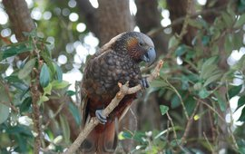 This is a kaka, an endangered parrot species endemic to New Zealand
