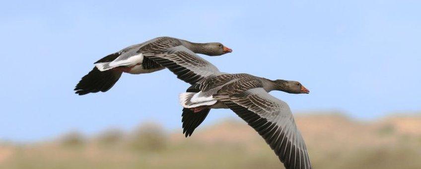 Grauwe gans, vliegend. Foto: Saxifraga-Piet Munsterman. www.saxifraga.nl