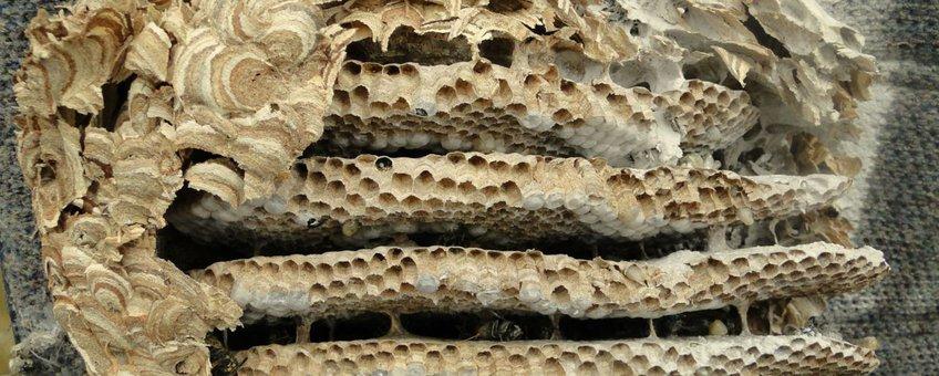 Nest van een gewone wesp dat bestreden is en waarvan de voorkant verwijderd is