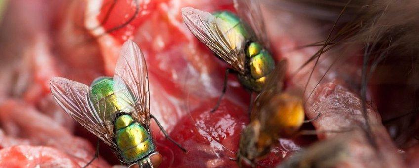 Vliegen op kadaver, eenmalig gebruik