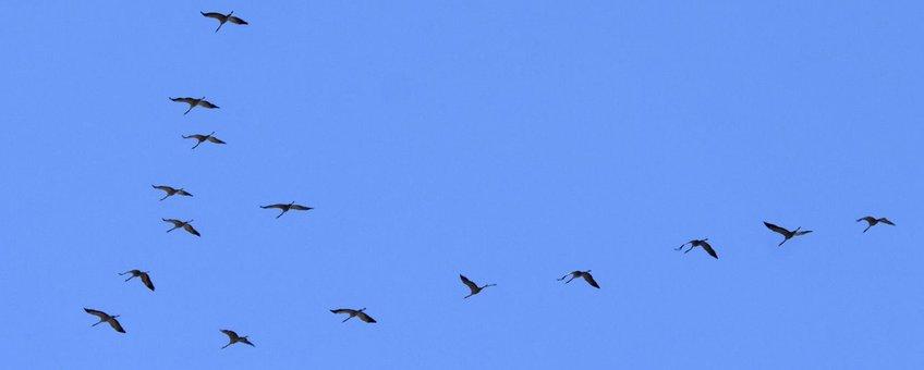 kraanvogels - eenmalig gebruik