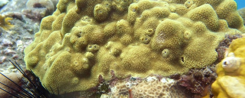 The common Caribbean coral Porites astreoides was found on both the artificial and natural reef.