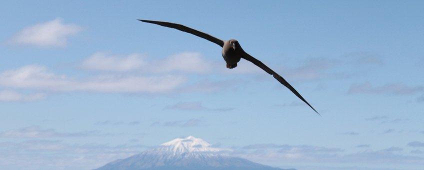 Een albatros zwevend boven het eiland Tristan da Cunha ten zuidwesten van Kaapstad