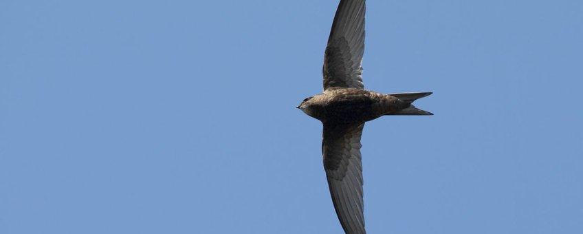 Een Gierzwaluw toont zijn meest karakteristieke vorm: de vliegende sikkel.
