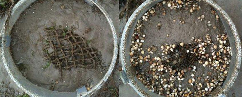 Eind augustus: De foto links is het bovenaanzicht van een kooi met gat (deksel verwijderd) en de rechter foto toont een gesloten kooi. De witte en lichtbruine stippen zijn jonge kokkels en de donkere grote plek in het midden van de rechter kooi zijn jonge mossels