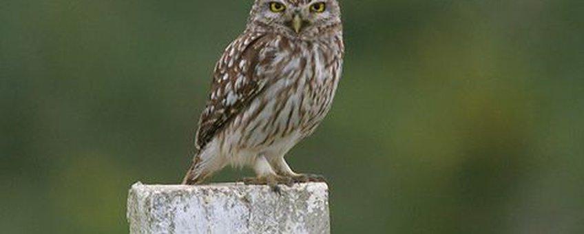 Steenuil Menno Hornman, Sovon Vogelonderzoek Nederland