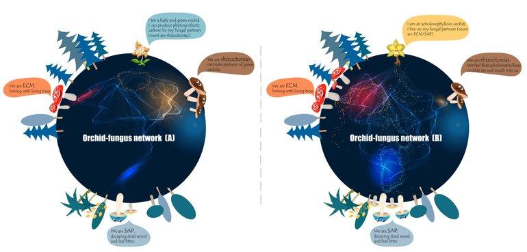 Illustratie van de ondergrondse symbiotische netwerken tussen orchideeën en mycorrhiza-schimmels. [A] Een bladrijke orchidee krijgt bij voorkeur voedingsstoffen van 'rhizoctonia'-schimmels. [B] Een bladloze orchidee ontvangt bij voorkeur voedingsstoffen van ectomycorrhiza-schimmels (ECM) en hout- of strooiselrottende saprotrofe schimmels (SAP)