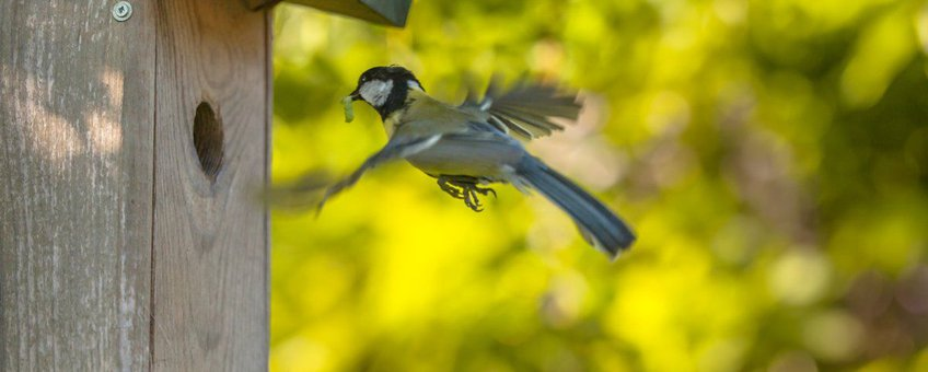 Parus major. Koolmees