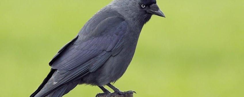 Op en top Kauw: korte snavel, zwart petje, grijze nek en witblauwe oogjes.