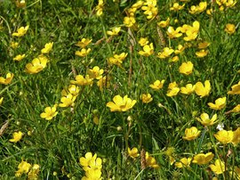 Ranunculus repens, Kruipende boterbloem,
