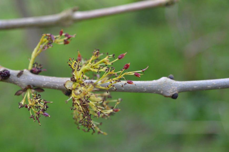 Bloem tweeslachtig es Fraxinus excelsior