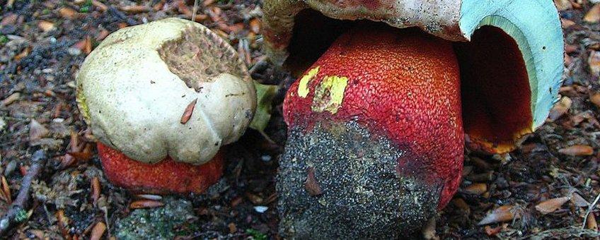 Roodnetboleet