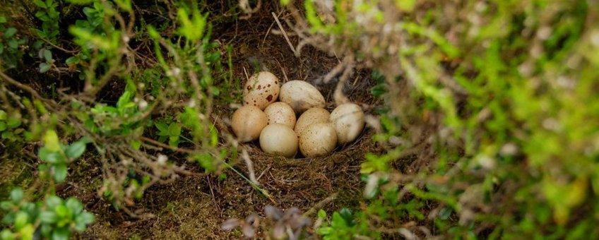 Niet uitgekomen korhoenlegsel. Bij vogels is een afgenomen uikomstpercentage van eieren een belangrijke indicatie voor inteeltproblemen.