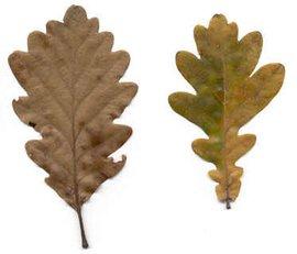 Bladeren van de wintereik (links) en zomereik (rechts)