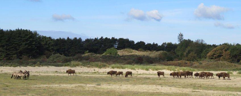 Konikpaarden en wisenten in het Kraansvlak.