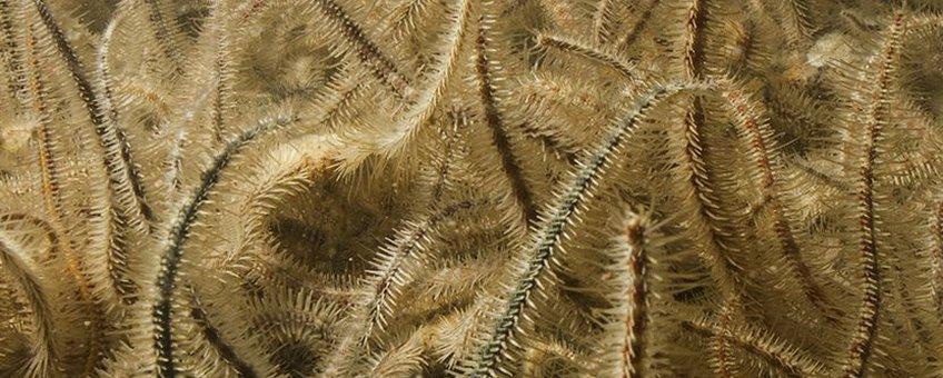 Brokkelsterren bedekken lokaal massaal de Oosterschelde bodem en verdringen daar andere soorten zeedieren.