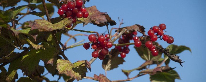 Gelderse roos Saxifraga