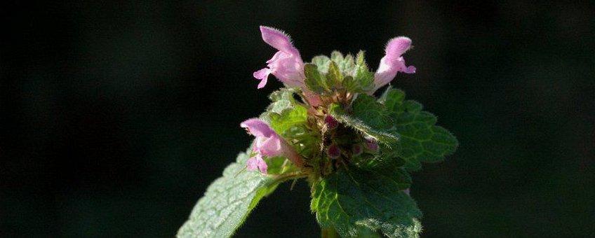 Lamium purpureum. Paarse dovenetel
