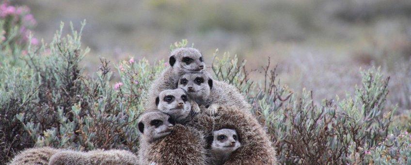 meerkats, stokstaartjes