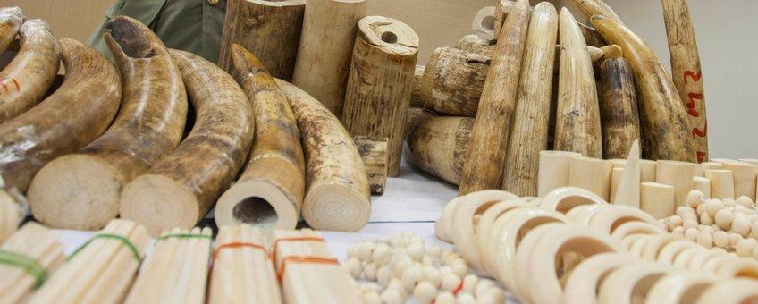 De douane in Hong Kong onderschept en confisqueert 790 kg gesmokkeld ivoor uit Angola dat bestemd was voor Cambodja in 2014