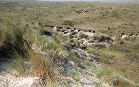 Vallei van het Veen Vlieland Soayschapen in droog duin
