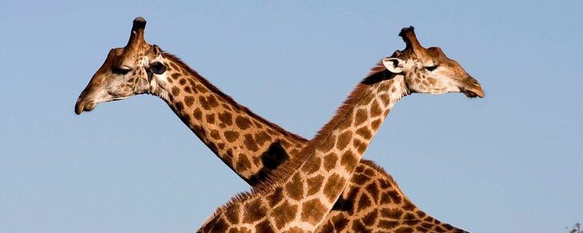 Uitsnede: Fighting giraffes (Giraffa camelopardalis) in Ithala Game Reserve, Northern KwaZulu Natal, South Africa