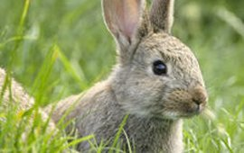 Jong konijntje (Foto Rollin Verlinde/Vilda)