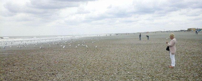 Strandjutters en Zeemeeuwen genoten van de enorme aantallen Schelpdieren die de zomerstorm van 25 juli op het Noordzeestrand had gedeponeerd