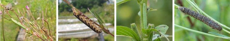 Teunisbloemrupsen kunnen groen of bruin zijn