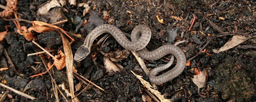 De eerste jonge gladde slang van 2010 gevonden in de Kempen te Brabant