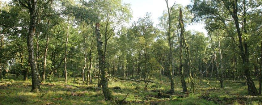 Door storm en ouderdom is een open plek in het berkenbos ontstaan