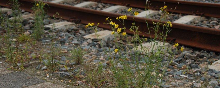 bezemkruiskruid langs spoorlijn
