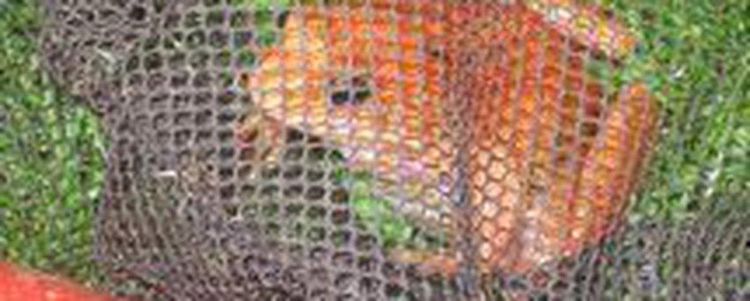 Bruine kikker met kleurafwijking gevonden in Warnsveld