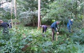 Bestrijding reuzenberenklauw met vrijwilligers