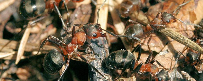 Behaarde rode bosmier formica rufa