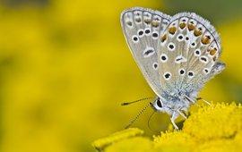 Icarusblauwtje Saxifraga