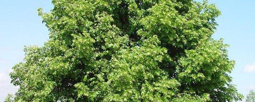 Kleinbladige linde of winterlinde