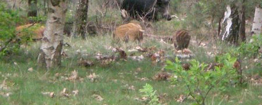 wild zwijn met jongen Leenderbos
