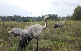 De kraanvogels met jong, vastgelegd op wildcam