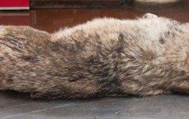 Mogelijke doodgereden wolf, Noordoostpoder, 5 juli 2013