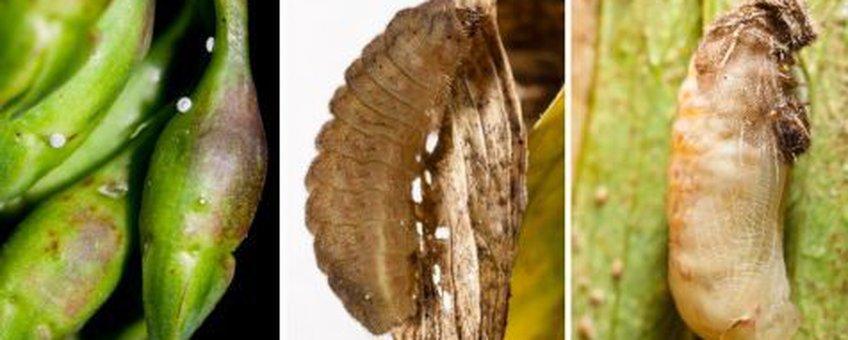 Eitjes op de knoppen van lathyrus, volgroeide rups en pop tijgerblauwtje