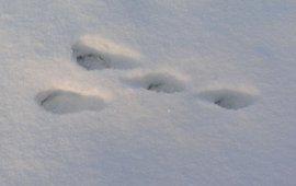 konijn sporen in sneeuw